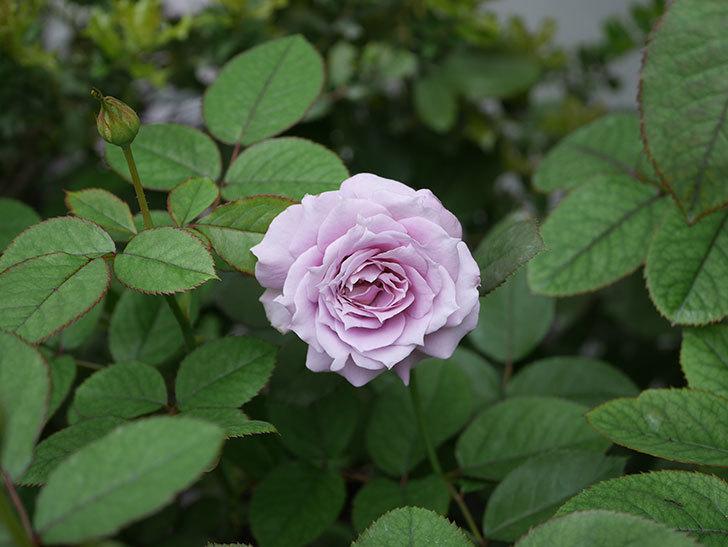 ノヴァーリス(木立バラ)の2番花が咲いた。2019年-2.jpg