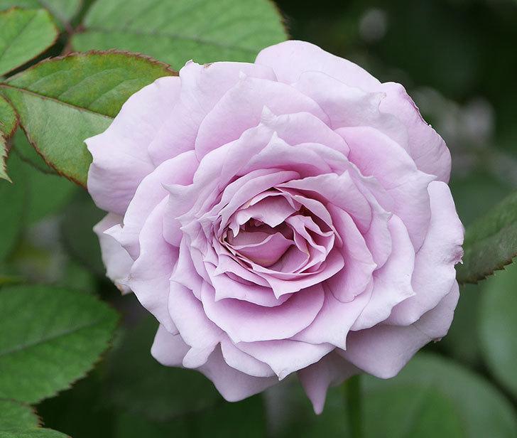 ノヴァーリス(木立バラ)の2番花が咲いた。2019年-3.jpg