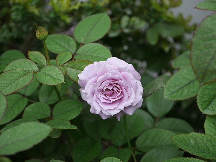 ノヴァーリス(木立バラ)の2番花が咲いた。2019年-4.jpg