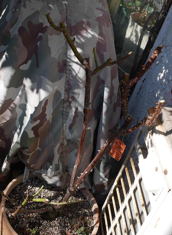ノヴァーリス(木立バラ)の冬剪定をした。2020年-4.jpg
