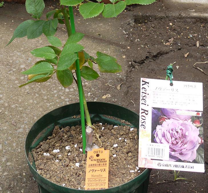 ノヴァーリス(木立バラ)の新苗を6号ロングスリット鉢に植えた。2016年-1.jpg