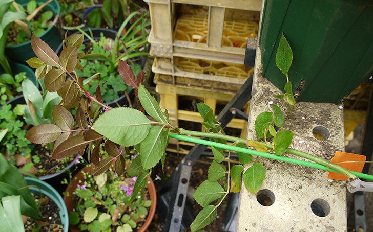 ノヴァーリス(木立バラ)の新苗を6号ロングスリット鉢に植えた。2016年-2.jpg