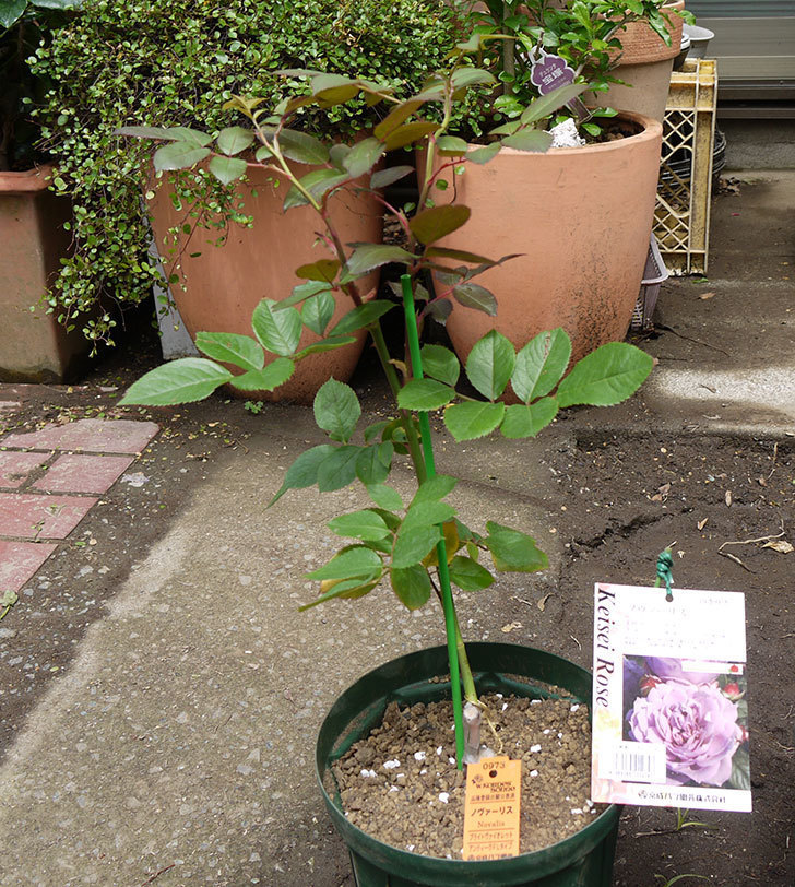 ノヴァーリス(木立バラ)の新苗を6号ロングスリット鉢に植えた。2016年-6.jpg