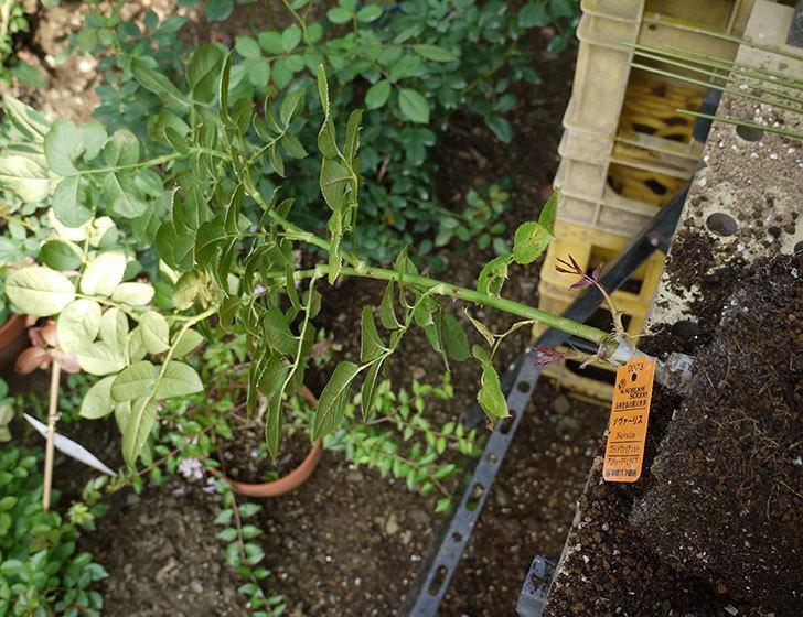 ノヴァーリス(木立バラ)の新苗を8号のEUロングスリット鉢に鉢増しした。2016年-1.jpg
