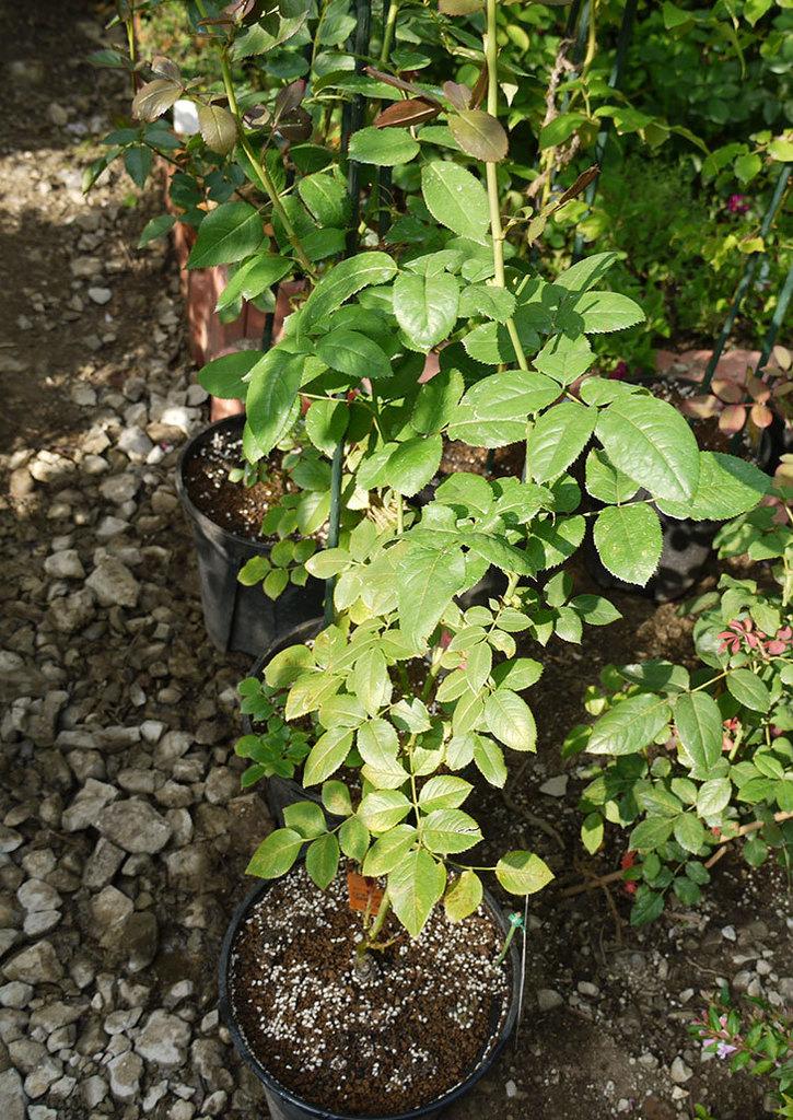 ノヴァーリス(木立バラ)の新苗を8号のEUロングスリット鉢に鉢増しした。2016年-10.jpg
