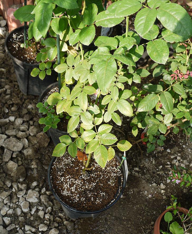 ノヴァーリス(木立バラ)の新苗を8号のEUロングスリット鉢に鉢増しした。2016年-13.jpg