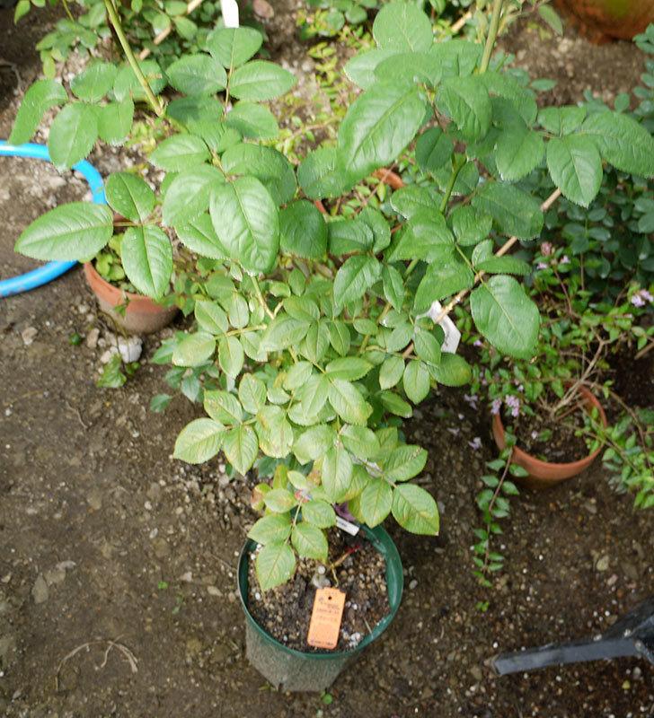 ノヴァーリス(木立バラ)の新苗を8号のEUロングスリット鉢に鉢増しした。2016年-3.jpg