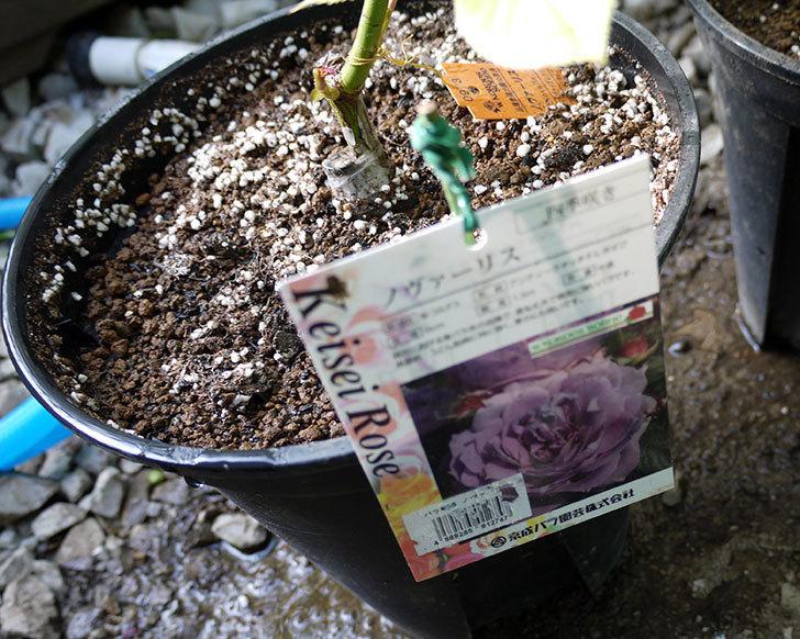 ノヴァーリス(木立バラ)の新苗を8号のEUロングスリット鉢に鉢増しした。2016年-7.jpg