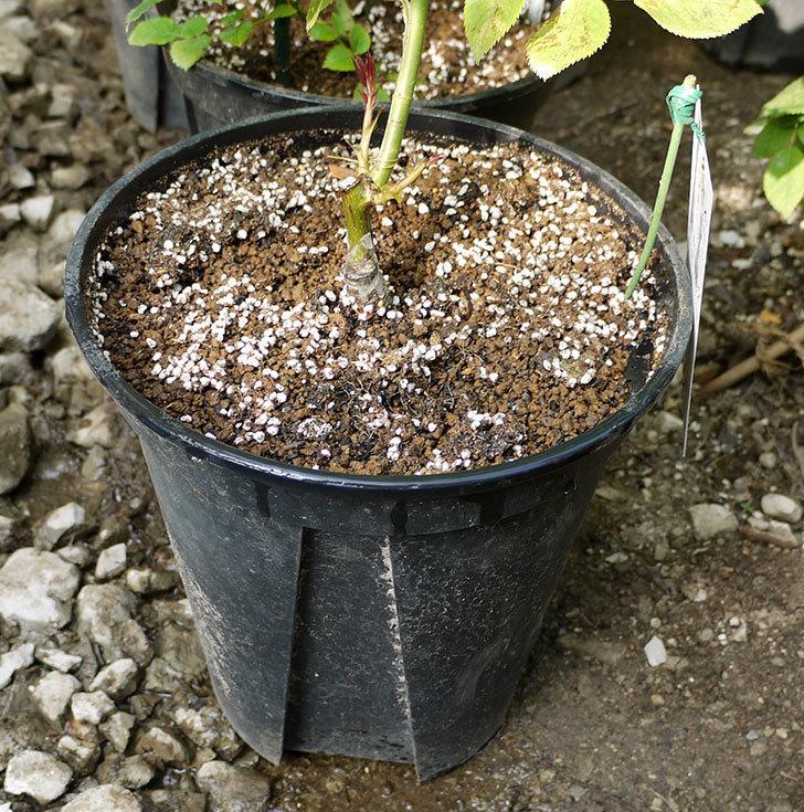 ノヴァーリス(木立バラ)の新苗を8号のEUロングスリット鉢に鉢増しした。2016年-9.jpg