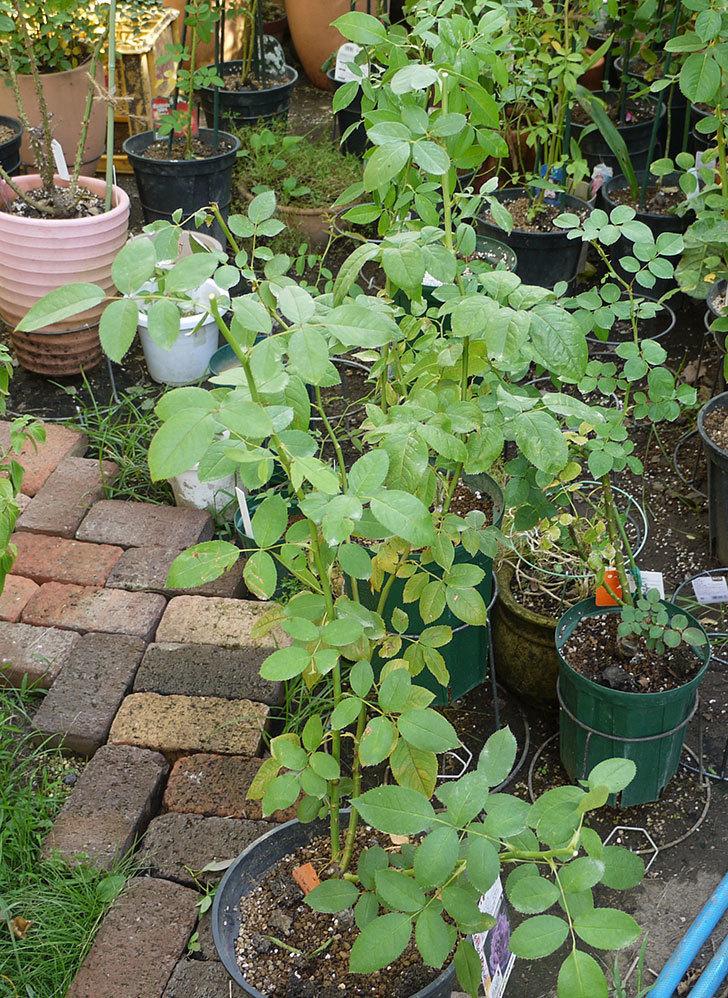 ノヴァーリス(木立バラ)の新苗を夏剪定した。2016年-1.jpg