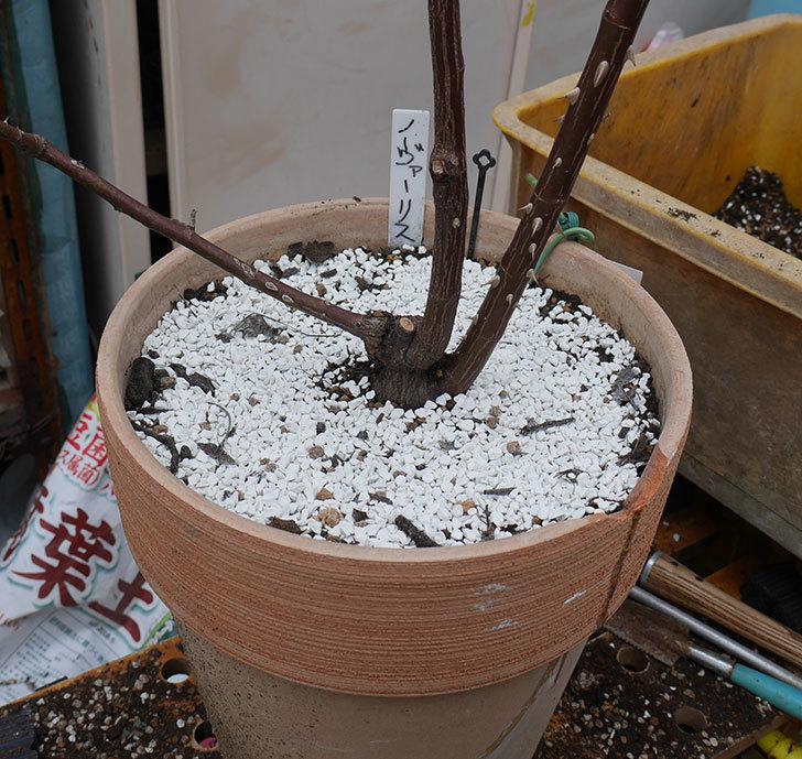 ノヴァーリス(木立バラ)の植え替えをした。2019年-8.jpg