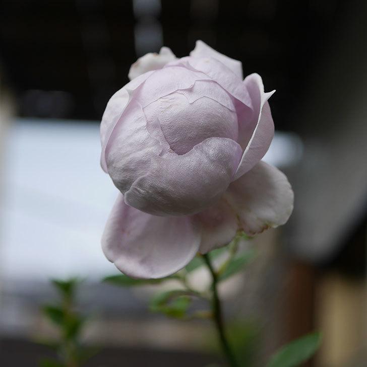 ノヴァーリス(木立バラ)の秋花が咲いた。2019年-1.jpg