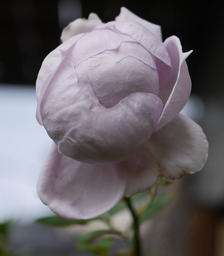 ノヴァーリス(木立バラ)の秋花が咲いた。2019年-3.jpg