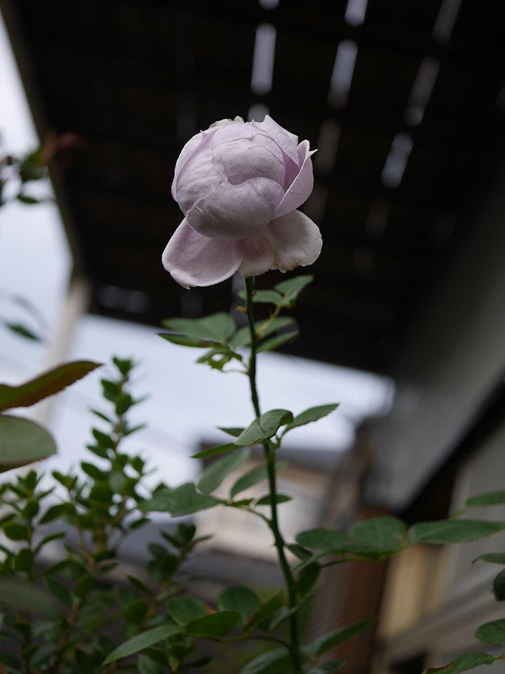 ノヴァーリス(木立バラ)の秋花が咲いた。2019年-4.jpg