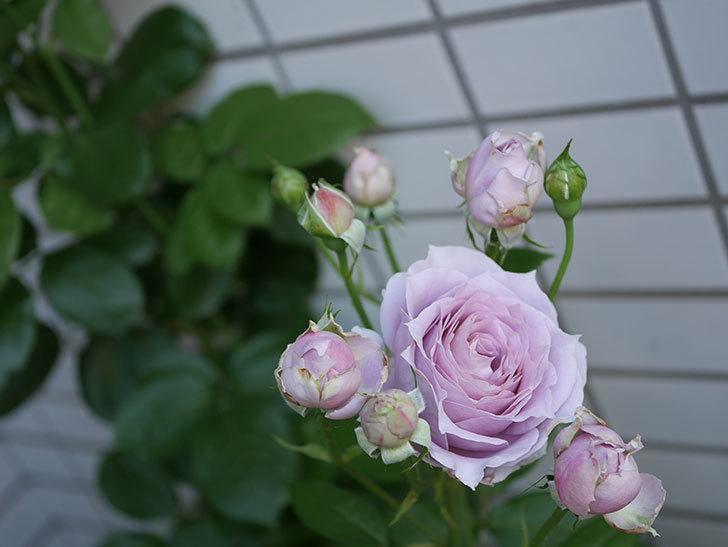 ノヴァーリス(木立バラ)の花がたくさん咲いた。2019年-10.jpg