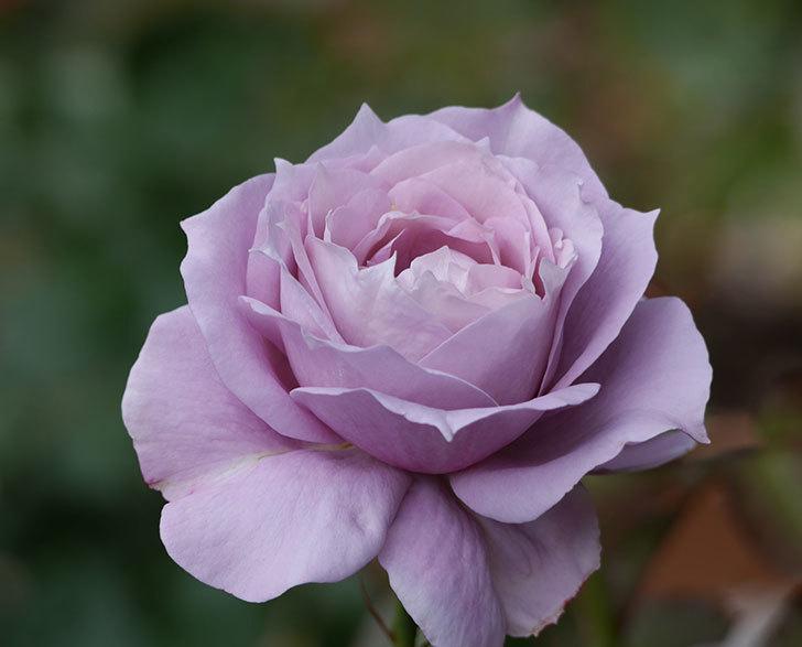 ノヴァーリス(木立バラ)の花がまた咲いた。2018年-3.jpg