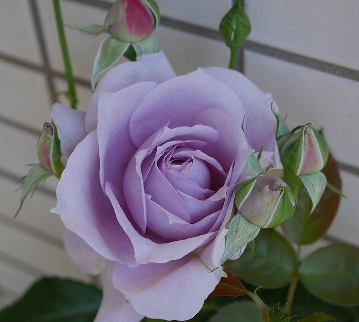 ノヴァーリス(木立バラ)の花が咲いた。2019年-1.jpg