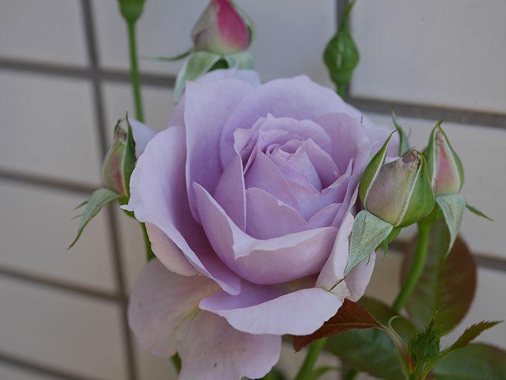 ノヴァーリス(木立バラ)の花が咲いた。2019年-2.jpg