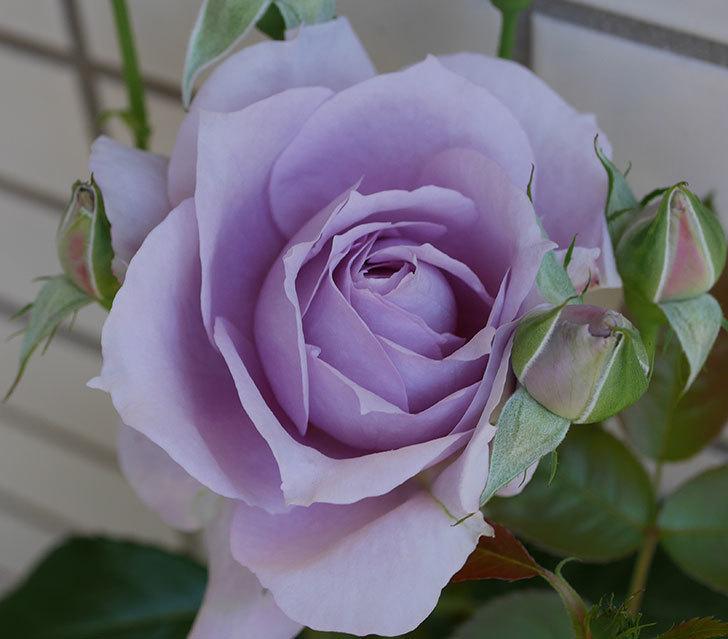 ノヴァーリス(木立バラ)の花が咲いた。2019年-3.jpg