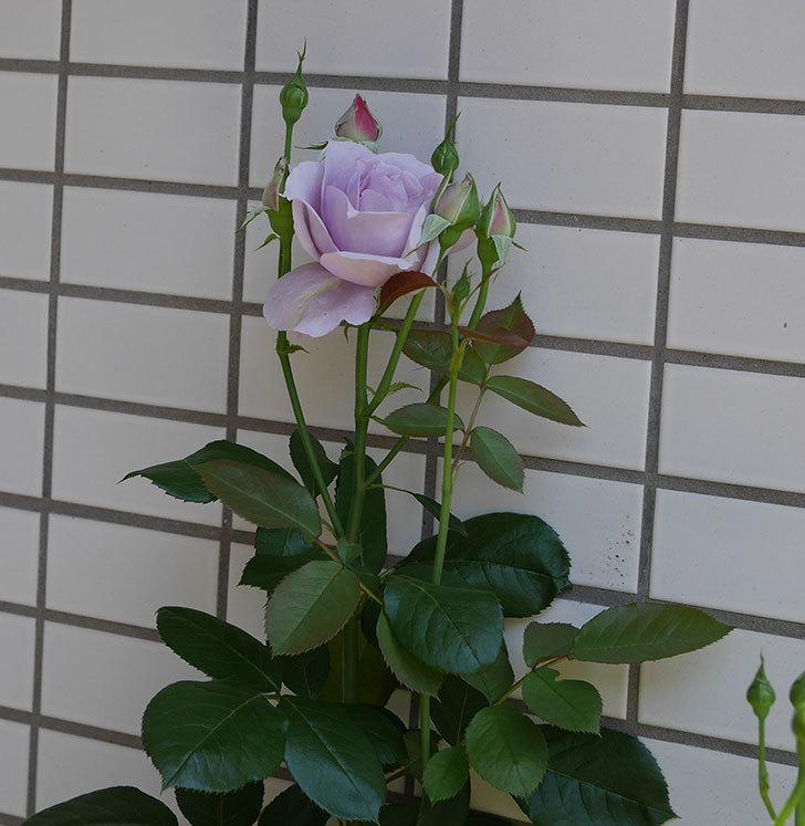 ノヴァーリス(木立バラ)の花が咲いた。2019年-5.jpg