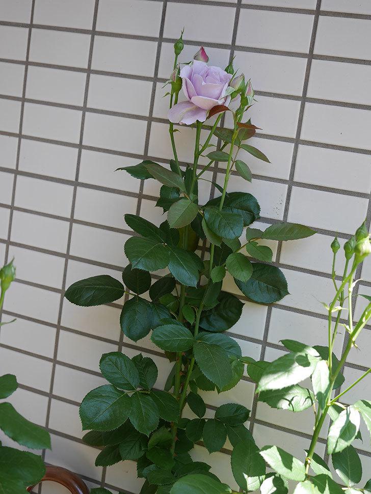 ノヴァーリス(木立バラ)の花が咲いた。2019年-7.jpg