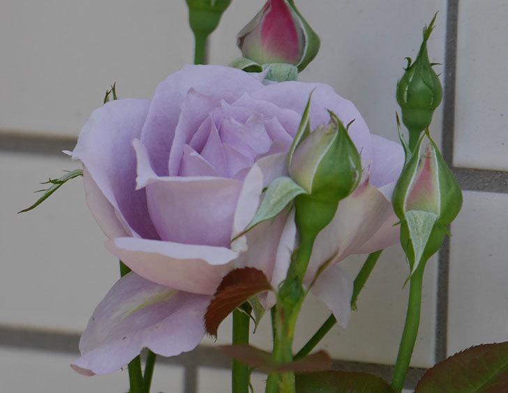 ノヴァーリス(木立バラ)の花が咲いた。2019年-8.jpg