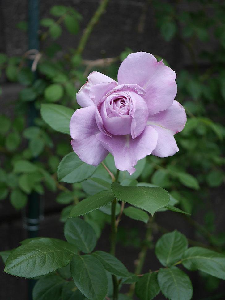 ノヴァーリス(木立バラ)の花が咲いた。2020年-001.jpg