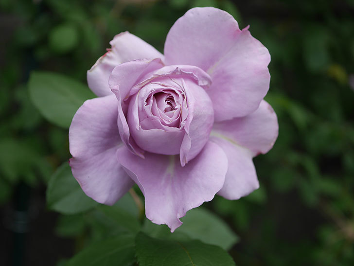 ノヴァーリス(木立バラ)の花が咲いた。2020年-002.jpg