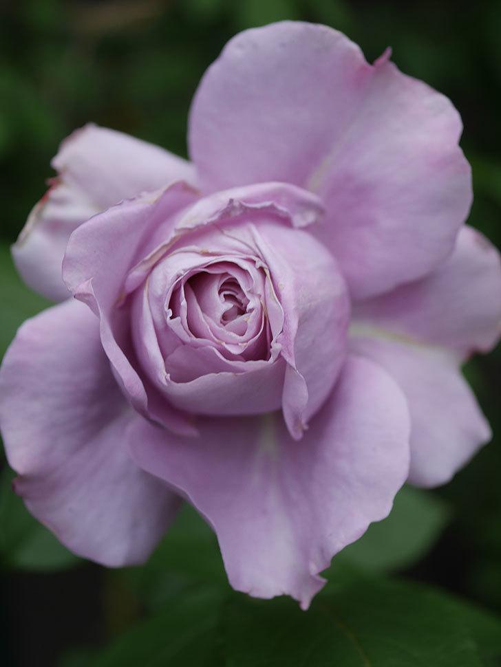 ノヴァーリス(木立バラ)の花が咲いた。2020年-003.jpg