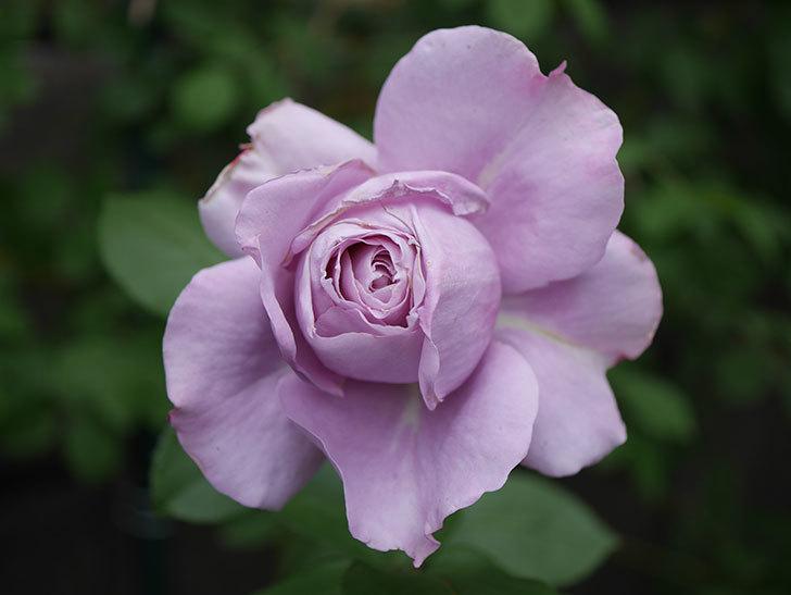 ノヴァーリス(木立バラ)の花が咲いた。2020年-004.jpg