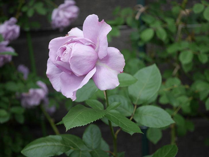 ノヴァーリス(木立バラ)の花が咲いた。2020年-005.jpg