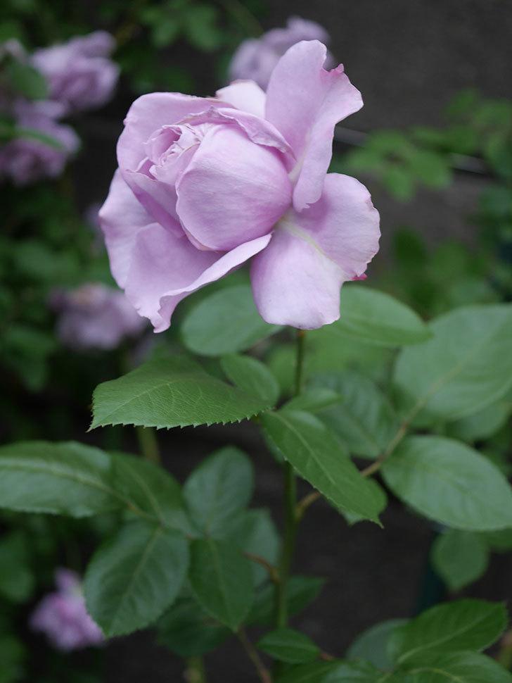 ノヴァーリス(木立バラ)の花が咲いた。2020年-006.jpg