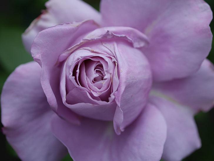 ノヴァーリス(木立バラ)の花が咲いた。2020年-008.jpg