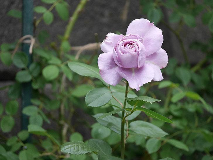 ノヴァーリス(木立バラ)の花が咲いた。2020年-009.jpg