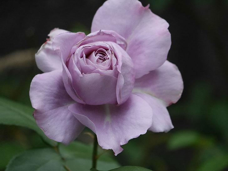 ノヴァーリス(木立バラ)の花が咲いた。2020年-010.jpg
