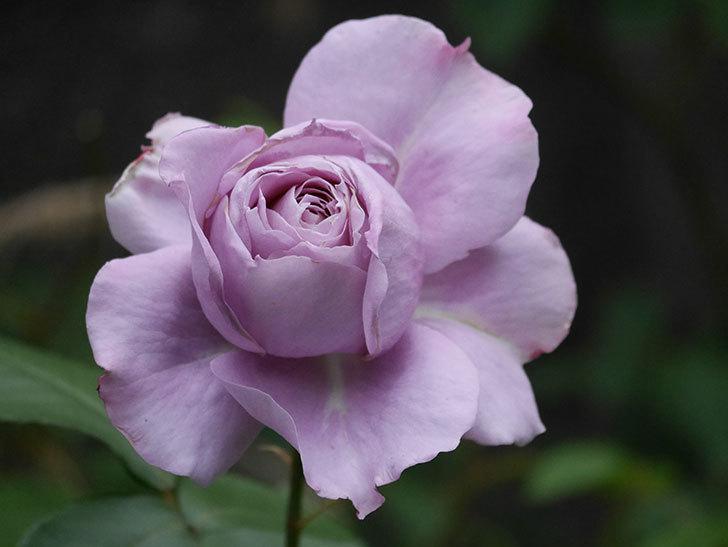 ノヴァーリス(木立バラ)の花が咲いた。2020年-011.jpg