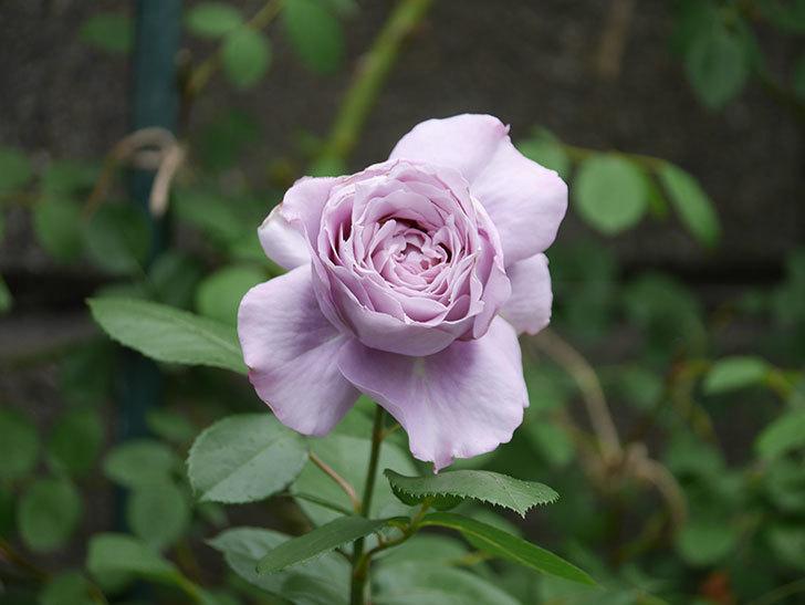 ノヴァーリス(木立バラ)の花が咲いた。2020年-012.jpg