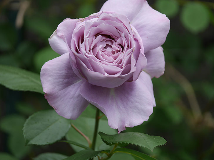 ノヴァーリス(木立バラ)の花が咲いた。2020年-015.jpg