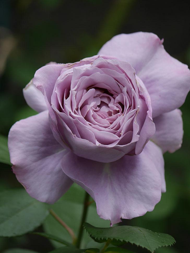 ノヴァーリス(木立バラ)の花が咲いた。2020年-016.jpg