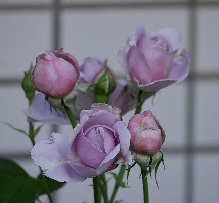 ノヴァーリス(木立バラ)の花が増えて来た。2019年-1.jpg