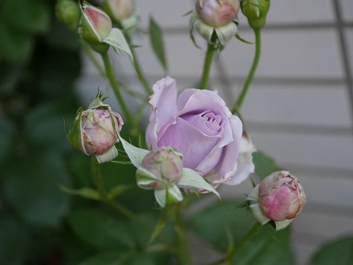 ノヴァーリス(木立バラ)の花が増えて来た。2019年-11.jpg