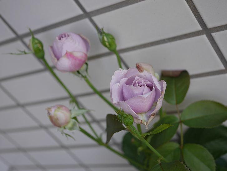 ノヴァーリス(木立バラ)の花が増えて来た。2019年-12.jpg