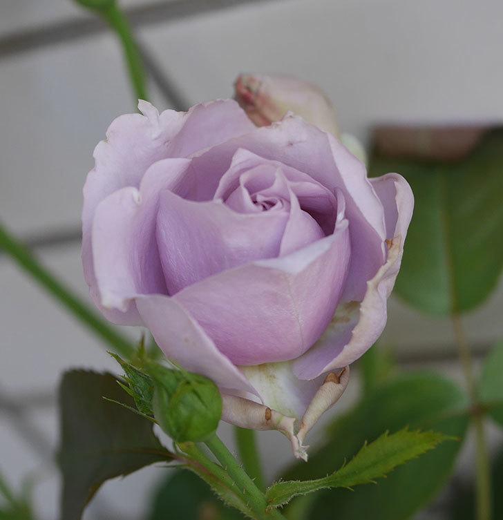 ノヴァーリス(木立バラ)の花が増えて来た。2019年-13.jpg