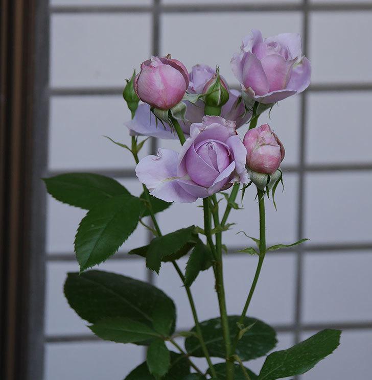 ノヴァーリス(木立バラ)の花が増えて来た。2019年-2.jpg