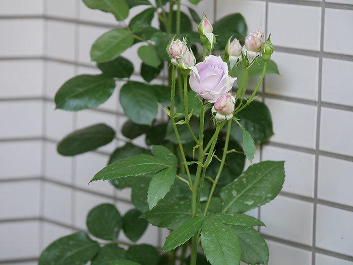 ノヴァーリス(木立バラ)の花が増えて来た。2019年-3.jpg