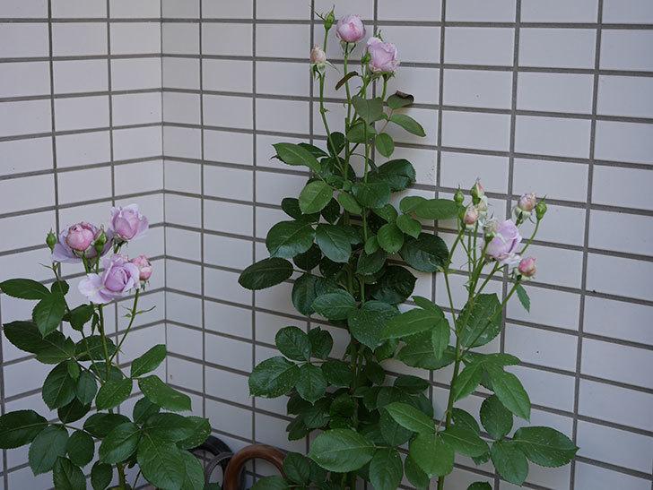 ノヴァーリス(木立バラ)の花が増えて来た。2019年-5.jpg