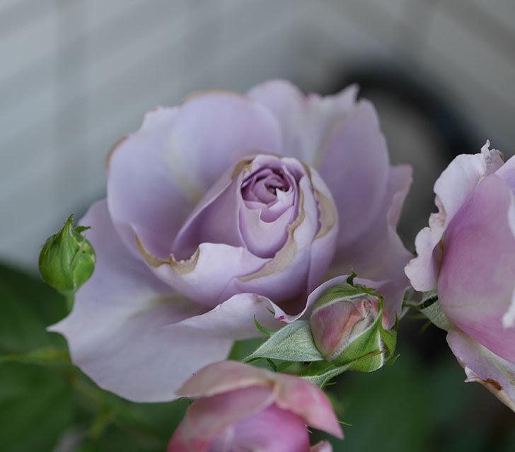 ノヴァーリス(木立バラ)の花が増えて来た。2019年-8.jpg