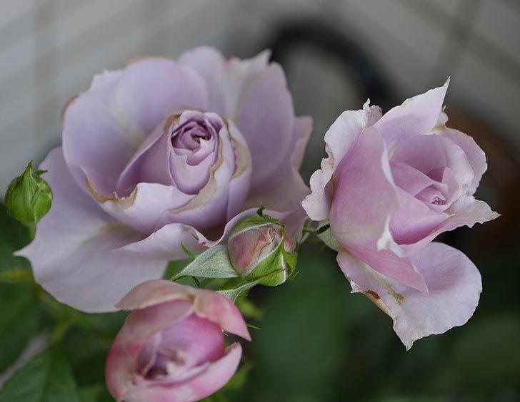 ノヴァーリス(木立バラ)の花が増えて来た。2019年-9.jpg
