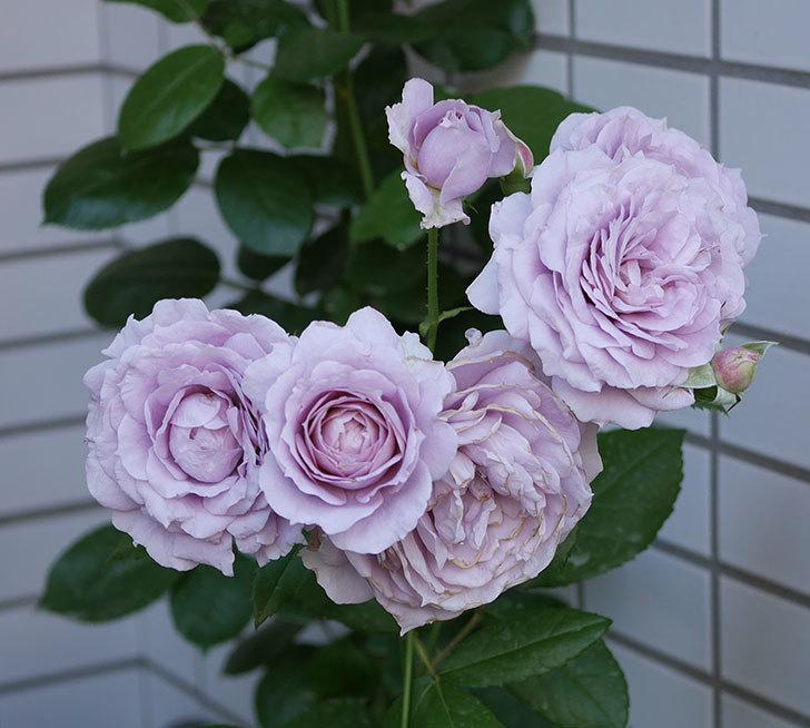 ノヴァーリス(木立バラ)の花が良い感じになった。2019年-1.jpg