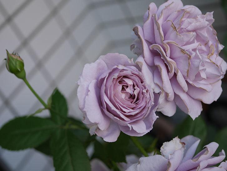 ノヴァーリス(木立バラ)の花が良い感じになった。2019年-10.jpg
